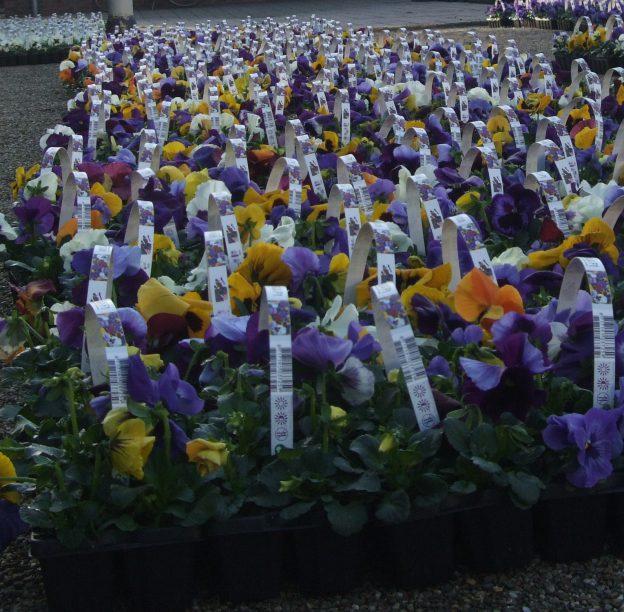 Zaterdag 7 maart viooltjes bezorging!