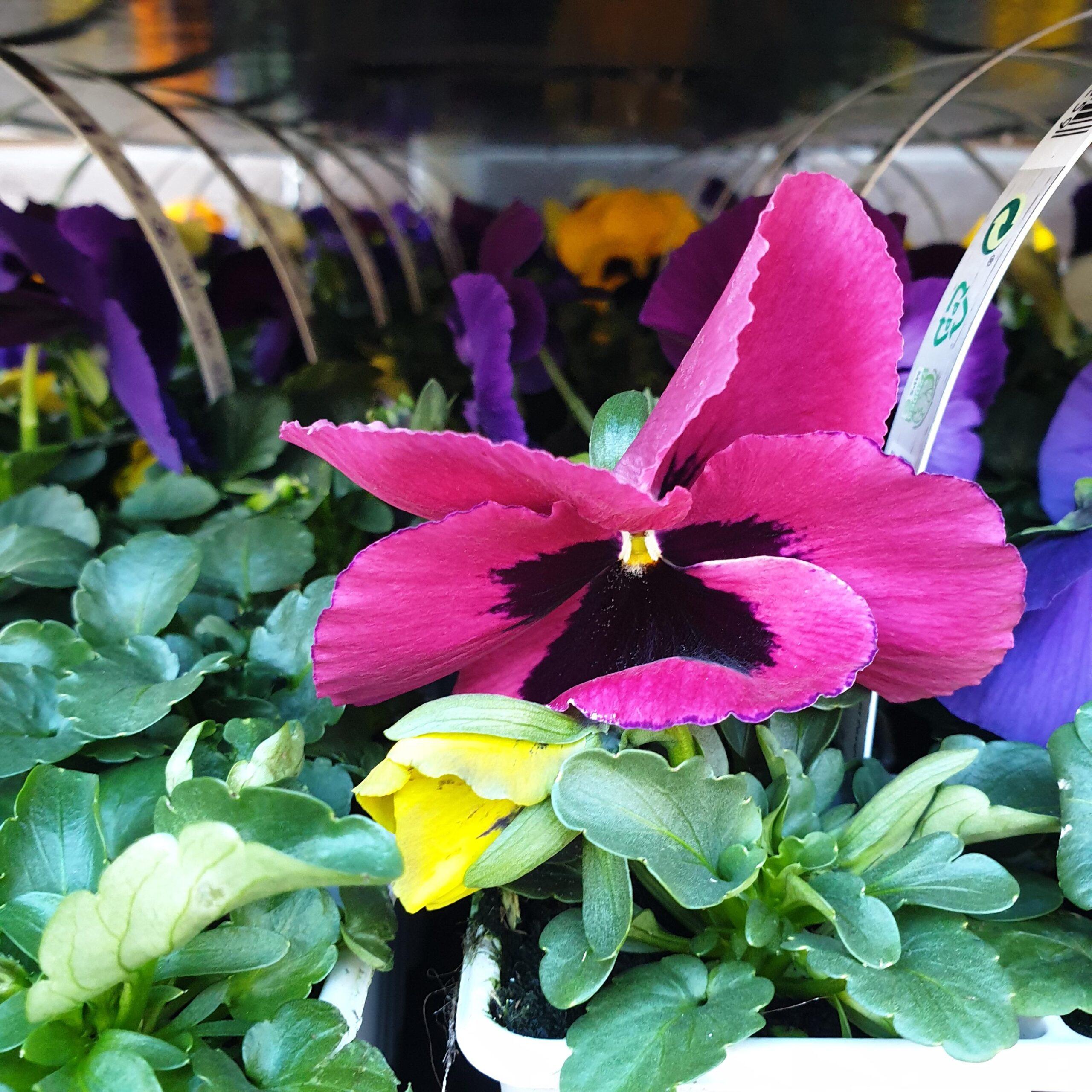 Zaterdag 6 maart bezorging violen!